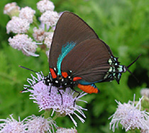 To Have A Successful Butterfly Garden Plants Must Be Offered That Provide  Both Nectar For The Adult Butterflies And Host Plants On Which They Can Lay  (or ...
