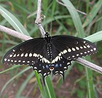 host plants by butterfly species