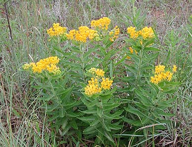 Asclepias Tuberosa    Butterfly Weed *